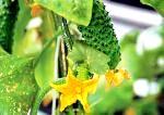 Як виростити огірки в домашніх умовах