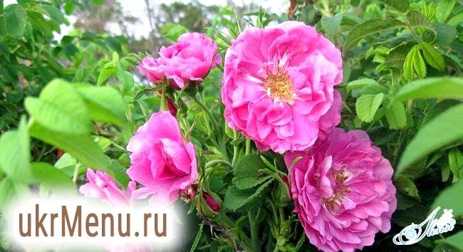 Найромантичніше варення: з чайної троянди